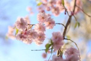春の木漏れ日に映える満開の桜の花
